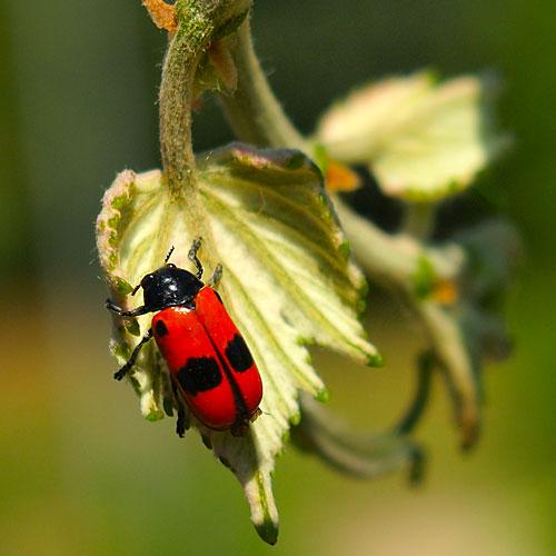 természetfotózás piros bogár